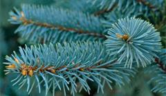 Голубая ель: посадка и уход